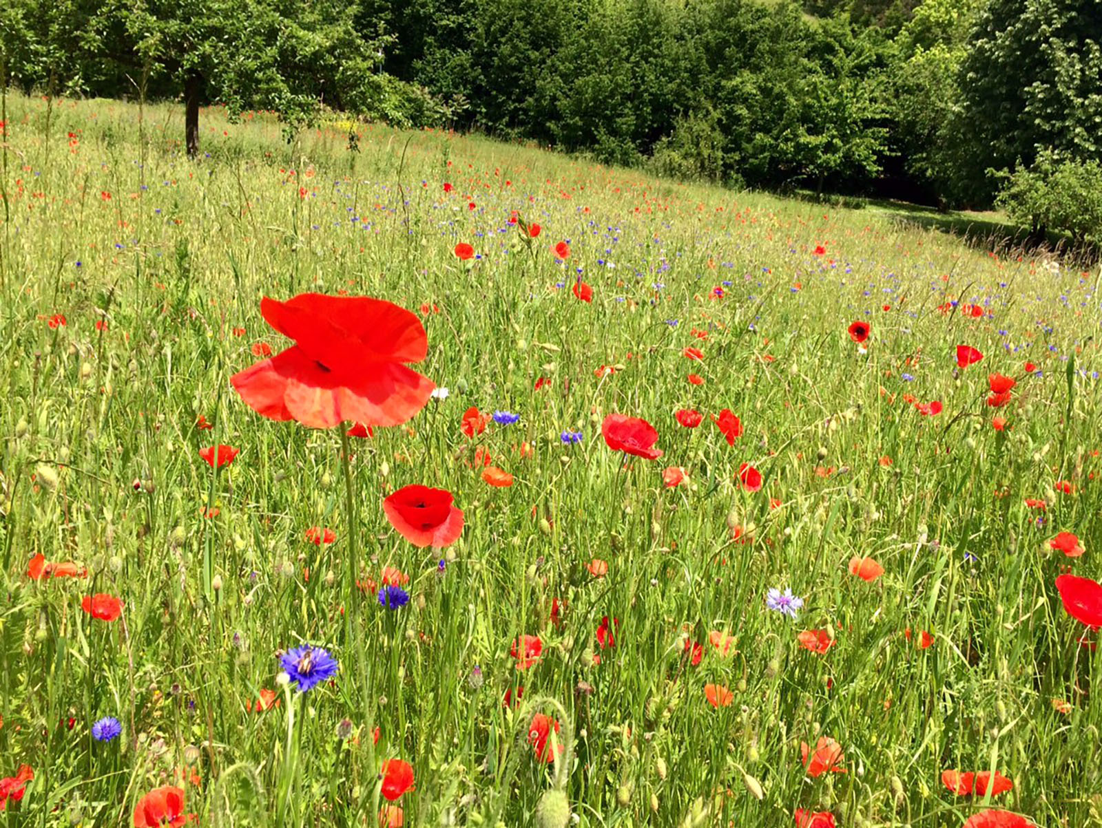 Coquelicots Giverny. Nouvelle Normandie ©GB MTNG