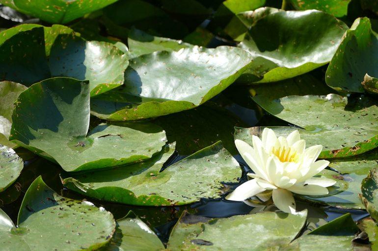 Nymphéa blanc. Impressionnisme. Jardin d'eau. jardins de Claude Monet. Giverny. Nouvelle Normandie