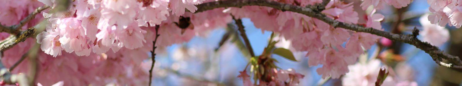 Cerisiers en fleurs à Giverny © Ophélie Petit